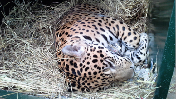 Millonaria recompensa por información sobre muerte de jaguar en Antioquia