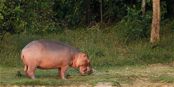 Los peligros de los hipopótamos de Escobar que deambulan por Doradal
