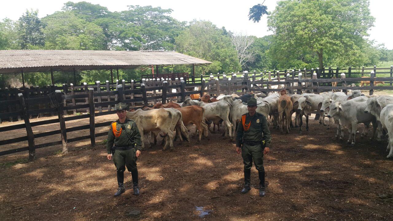 Policía, recuperó 60 vacas que se habían robado en Ciénega de oro