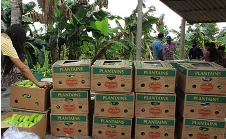 Exportación de plátano, un negocio rentable para los agricultores