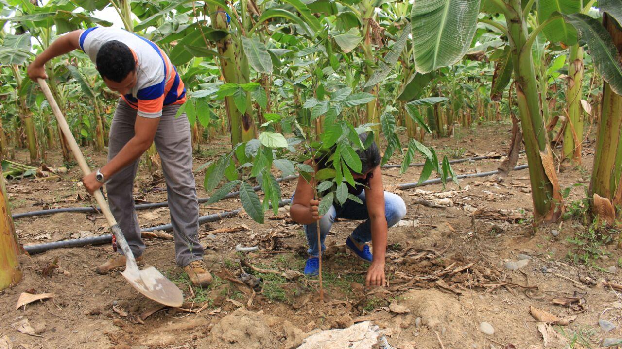 Barreras vivas, protección para los cultivos de plátano