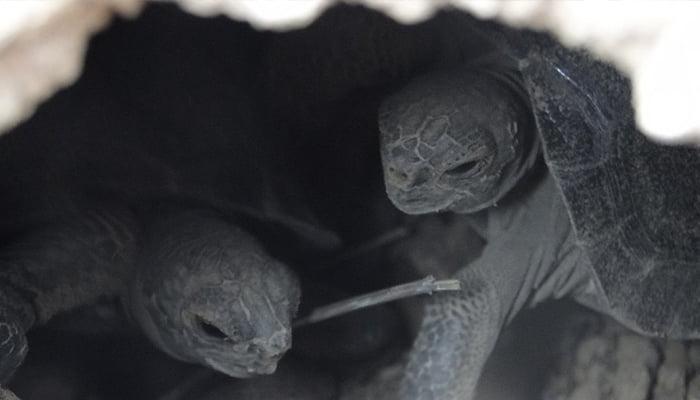 Nacieron tortugas en Islas Galápagos después de un siglo