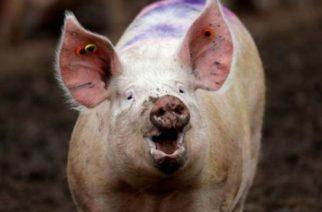 Cómo un equipo de científicos logró mantener vivos los cerebros de cerdos decapitados y los dilemas éticos que esto plantea
