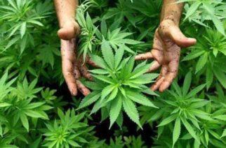 Se amplía la cantidad de plantas de marihuana permitida para fines terapéuticos