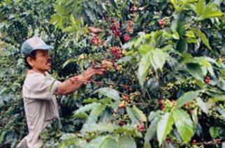 Gobierno difundirá este martes medidas en pro del sector cafetero