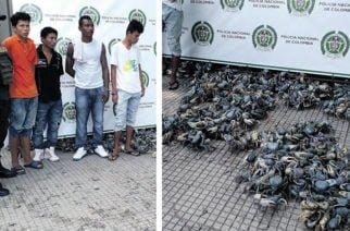 Más de 600 Cangrejos Azules incautados en Apartadó