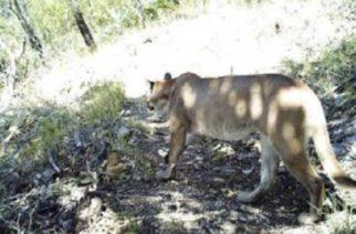 Felinos siguen haciendo de las suyas en municipios de Córdoba