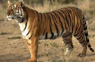 En Ayapel matan a tigre que estaba dejando sin reses a los campesinos