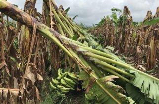 Sequía en Córdoba afecta producción platanera
