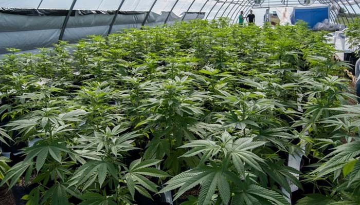 Gobierno otorgó a compañía colombiana cupos de cultivo comercial de cannabis