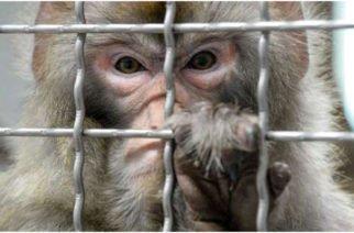 Científicos chinos implantan genes de desarrollo en primates