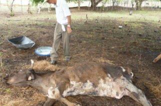 Comisión del ICA confirmó muerte masiva de reses en Córdoba a causa de la sequía