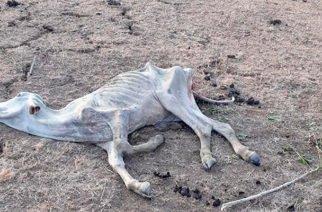 30 mil reses serían las desaparecidas según reporte de ganaderos de Córdoba