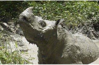 El último rinoceronte macho de Sumatra murió sin dejar descendencia