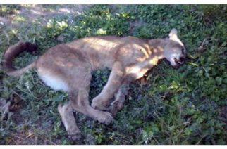 Hallan un puma en Puerto Libertador que habría sido cazado por campesinos