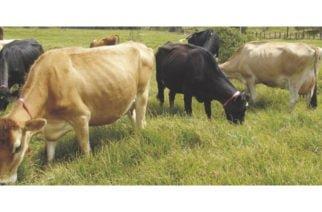 Invertirán $30 mil millones para fortalecer el programa de alimentación bovina de la Costa Caribe