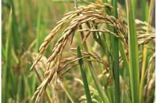 MinAgricultura: Arroz blanco nacional entrará al mercado ecuatoriano
