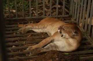 A Puma rescatado en Tierralta le implantaron microchip para monitorear sus movimientos