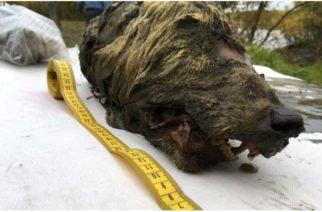 Hallan en Siberia una cabeza de lobo de hace 32 mil años
