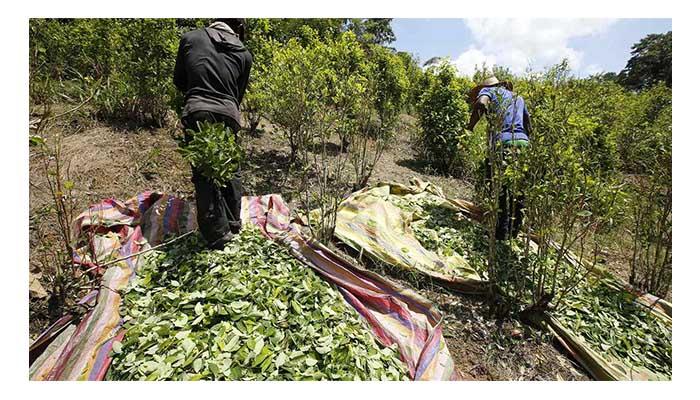 No mejoramos: Colombia en lugar de bajar aumentó  la producción de coca y sigue siendo el mayor productor del mundo