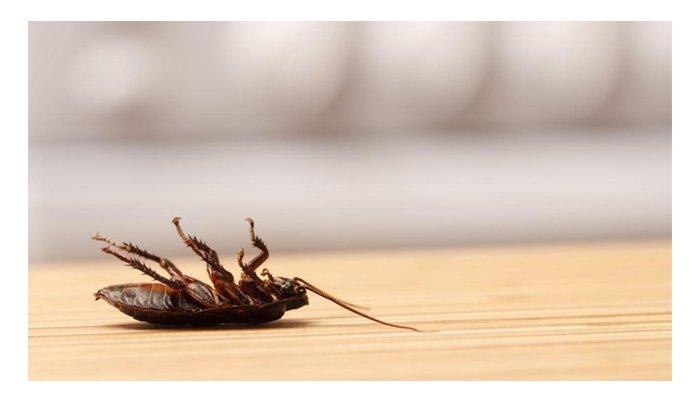 Científicos estadounidenses indican que las cucarachas podrían ser inmortales
