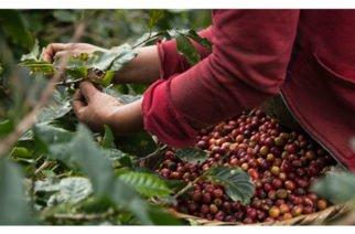 En lo corrido de año hubo un incremento del 2,2 % en la producción de café