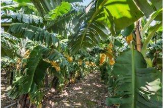 Peligroso hongo alarma a los productores bananeros
