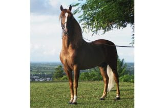 El caballo de Paso Fino Colombiano fue incluido como una raza autóctona y transfronteriza en el DAD-IS