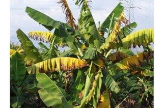 Laboratorios holandeses confirman presencia del hongo Fusarium en plantaciones de banano de La Guajira