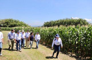 Minagricultura apoya siembra complementaria de maíz para mejorar ingresos de los cafeteros