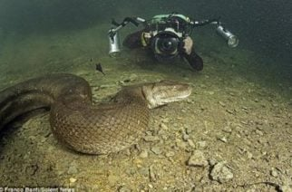 Dos fotógrafos se  encontraron  con una anaconda de siete metros en un río de Brasil