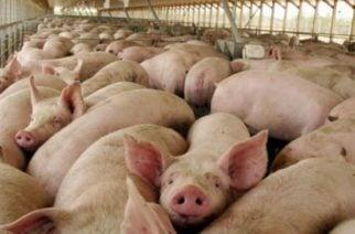 MinAgrilcultura anunció el primer envío de un contenedor de carne de cerdo a Angola