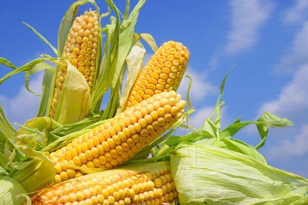 Montería es escenario del evento de productores de semillas de maíz más importante de Latinoamérica