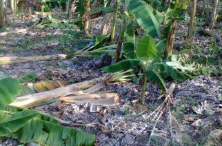 Intensas lluvias arrasan cultivos de plátano en dos municipios de córdoba
