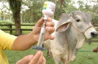Culminó el segundo ciclo de vacunación contra la fiebre aftosa