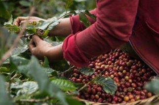 Cosecha cafetera colombiana totalizó 7,2 billones de pesos y creció 15,8% en 2019
