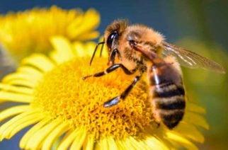 Victoria de la abeja, Corte pidió proteger al animal en Colombia
